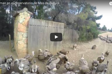 Buitreman, el hombre que alimenta cientos de buitres salvajes al día